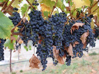 800px-Wine_grapes08[1]